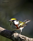 _MG_1641 Chestnut-sided Warbler.jpg