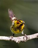 _MG_2117 Cape May Warbler.jpg