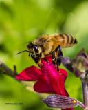 5F1A1814 Honey Bee.jpg