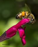 5F1A1904 bee.jpg