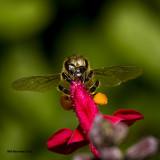 5F1A1997 Honey Bee.jpg