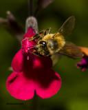 5F1A2035 Honey Bee.jpg
