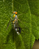5F1A2098 Green Lon-legged Fly.jpg