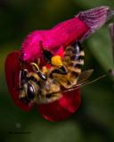 5F1A2233 Honey Bee.jpg
