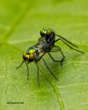 5F1A2331 Long-legged Green Fly nf f m.jpg