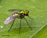 5F1A2322 Long-legged Green Fly nf.jpg