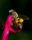 5F1A2516 Honey Bee.jpg