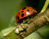 5F1A2523 Ladybug.jpg