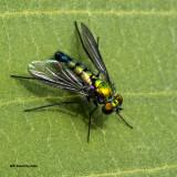 5F1A2541 Longlegged Fly.jpg