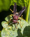 5F1A2547 wasp.jpg