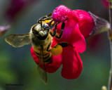5F1A2595 Honey Bee.jpg