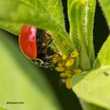 5F1A2612 Ladybug.jpg