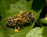 5F1A3179 Honey Bee.jpg