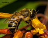 5F1A3280 Honey Bee.jpg