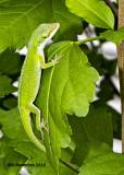5F1A3315 Green Anole.jpg