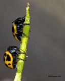 5F1A4207  Swamp Milkweed Leaf Beetle.jpg