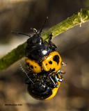 5F1A4202  Swamp Milkweed Leaf Beetle.jpg