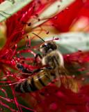 5F1A4183 Honeybee.jpg