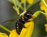 5F1A4211 Eastern Carpenter Bee.jpg