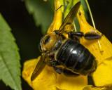 5F1A4228 Eastern Carpenter Bee.jpg