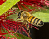 5F1A4339 Honeybee.jpg