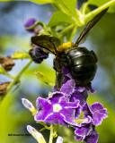5F1A4351 Eastern Carpenter Bee.jpg