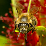 5F1A4357 Honeybee.jpg