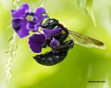 5F1A4369 Eastern Carpenter Bee.jpg