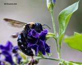 5F1A4392 Eastern Carpenter Bee.jpg
