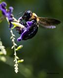 5F1A4462 Eastern Carpenter Bee.jpg