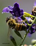5F1A4469 Honeybee.jpg