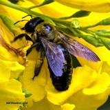 5F1A4769 Eastern Carpenter Bee.jpg