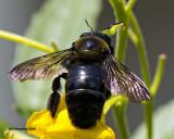 5F1A5209 Eastern Carpenter Bee.jpg