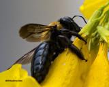 5F1A5500 Eastern Carpenter Bee.jpg