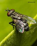 5F1A5761 little fly.jpg