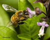 5F1A5767 Honeybee on Basil.jpg