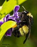 5F1A5851 Bumblebee.jpg