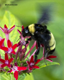 5F1A5890 American Bumblebee.jpg