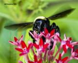 5F1A5895 American Bumblebee.jpg