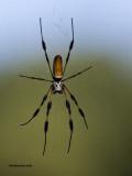 5F1A7772 Golden Orb-weaver Spider.jpg