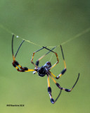5F1A7780 Golden Orb-weaver Spider.jpg