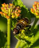 5F1A8858 Bee Fly.jpg