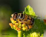 5F1A8862 Bee Fly.jpg