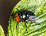 5F1A9115 Blue bottle fly.jpg