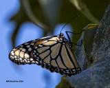 5F1A9652 Monarch.jpg