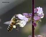 5F1A9766 Honeybee.jpg