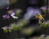 5F1A0021 Honey Bee.jpg