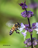 5F1A0049 Honeybee.jpg