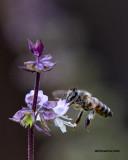 5F1A0170 Honeybee.jpg
