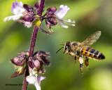 5F1A0345 Honey Bee.jpg